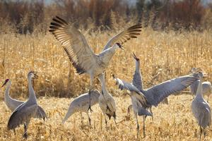 Sandhill Cranes in the Corn Fields, Bosque Del Apache National Wildlife Refuge by Maresa Pryor