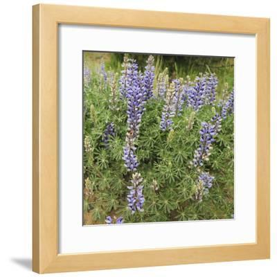 Tailcup Lupines, Cerrososo Canyon, New Mexico
