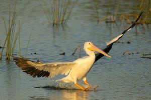 White Pelican Landing, Viera Wetlands, Florida by Maresa Pryor