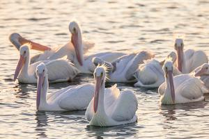 White Pelicans, Pelecanus Erythrorhynchos, Viera Wetlands Florida, USA by Maresa Pryor