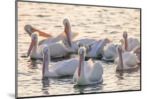 White Pelicans, Pelecanus Erythrorhynchos, Viera Wetlands Florida, USA by Maresa Pryor