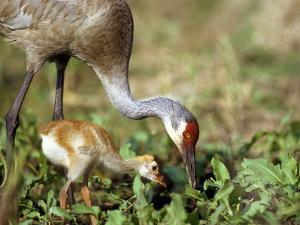 Wild Sandhill Crane with Days Old Chick (Grus Canadensis), Myakka River State Park, Florida, Usa by Maresa Pryor