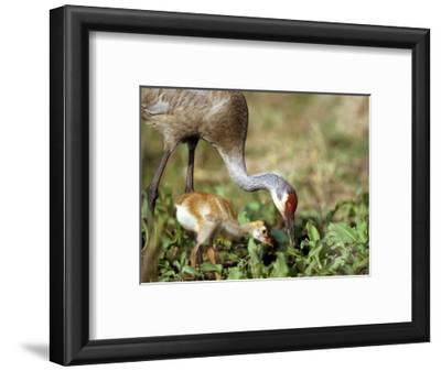 Wild Sandhill Crane with Days Old Chick (Grus Canadensis), Myakka River State Park, Florida, Usa