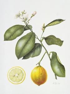 Citrus Bergamot, 1995 by Margaret Ann Eden