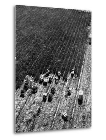Aerial View of Farm Workers Harvesting Onion Crop