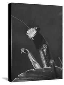 Close Up of the Ferocious Looking Head, Upper Body and Claws of a Praying Mantis by Margaret Bourke-White