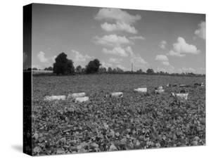 Herd of Cows Grazing in a Field of Fast Growing Kudzu Vines by Margaret Bourke-White