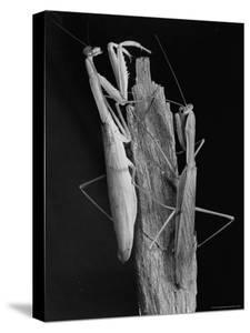 Praying Mantises by Margaret Bourke-White