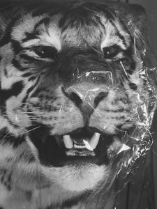 Siberian Tiger Covered in Storage at the American Museum of Natural History by Margaret Bourke-White