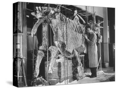 Two Museum Paleontologists Assembling Complete Styracosaurus, American Museum of Natural History