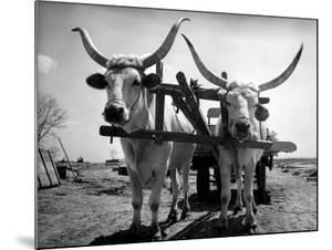 White Long-Horned Steers Teamed Up Like Oxen to Pull a Hay Wagon on the Anyala Farm by Margaret Bourke-White