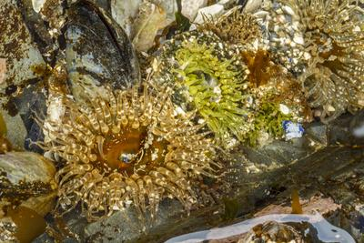 USA, Alaska. A cluster of moon glow anemones in a tide pool.