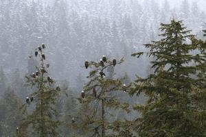 USA, Alaska. Bald eagles congregate in trees during by Margaret Gaines