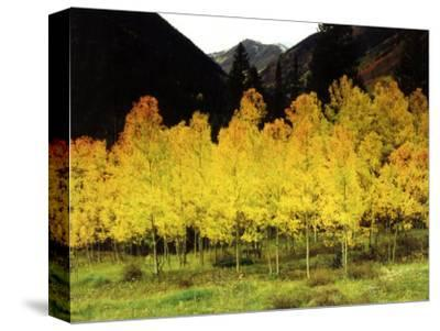 Brilliant Golden Aspen Trees in Rocky Mountains Near Silverton, Southwestern Colorado, USA