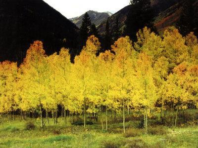 Brilliant Golden Aspen Trees in Rocky Mountains Near Silverton, Southwestern Colorado, USA