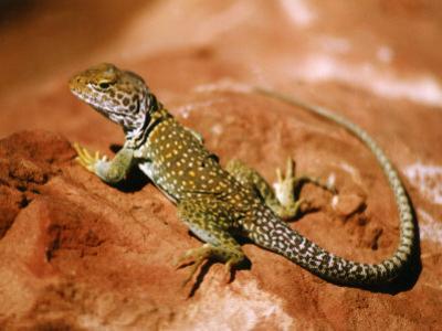 Collared Lizard (Crotaphytus Collaris), Sedona, Arizona, USA