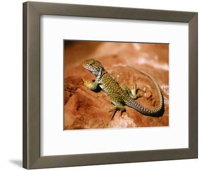 Collared Lizard (Crotaphytus Collaris), Sedona, Arizona, USA