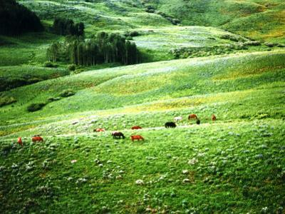 Lush Hillside with Horses in the Middle Ground, Colorado Rockies, Colorado, USA
