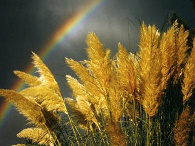 Pampas Grass and Rainbow, Sedona, Arizona, USA
