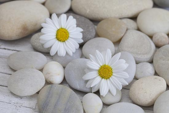 Margarites Blossoms, Stones, Still Life-Andrea Haase-Photographic Print