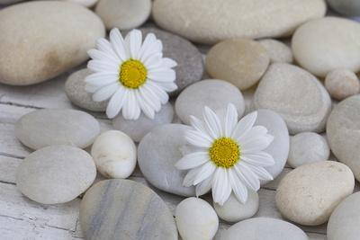 https://imgc.artprintimages.com/img/print/margarites-blossoms-stones-still-life_u-l-q11vppm0.jpg?p=0