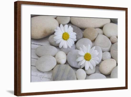 Margarites Blossoms, Stones, Still Life-Andrea Haase-Framed Photographic Print