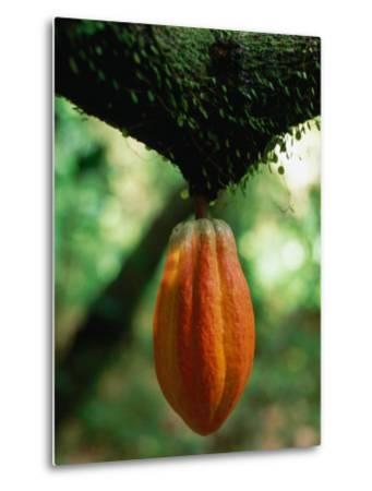 Cocoa Pod Growing on Tree, Grenada