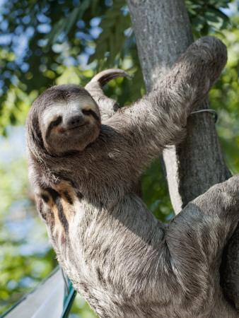 Sloth Living in Parque Centenario