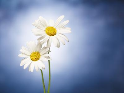 Marginuerites, Flowers, Blossoms, Still Life, Blue, White-Axel Killian-Photographic Print
