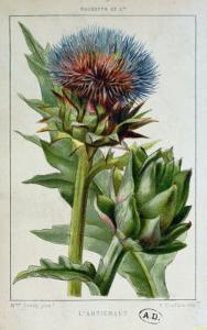 Artichoke, Botanical Plate by Marguerite Buret