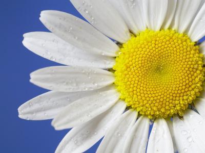 Marguerite / Ox Eye Daisy (Leucanthemum Vulgare) UK-Pete Cairns-Photographic Print