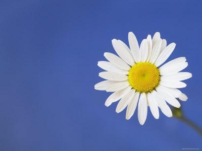 https://imgc.artprintimages.com/img/print/marguerite-ox-eye-daisy-leucanthemum-vulgare-uk_u-l-q10o1p70.jpg?p=0