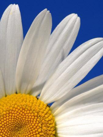 https://imgc.artprintimages.com/img/print/marguerite-oxeye-daisy-devon-uk_u-l-q10o26k0.jpg?p=0