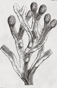 Fucus vesiculosus - Noir by Maria Mendez