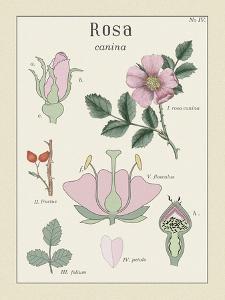 Rosa by Maria Mendez