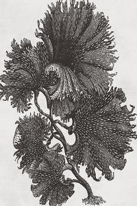 Thalassophyllum - Noir by Maria Mendez