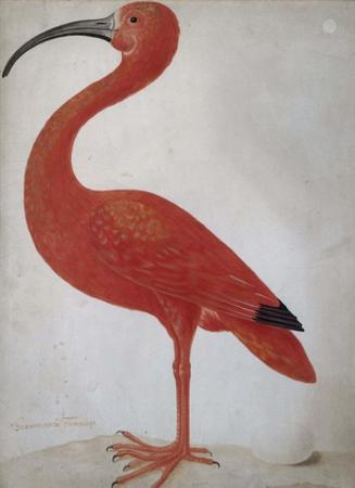 Scarlet Ibis with an Egg, 1699 - 1700