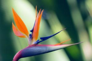 Bird of Paradise Flower by Maria Mosolova