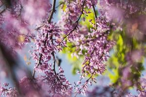 Cercis Canadensis 'Forest Pansy' by Maria Mosolova
