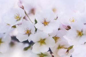 Cherry Blossom (Prunus 'Serrulata') by Maria Mosolova