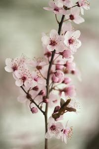 Cherry Plum (Prunus Ceracifera) by Maria Mosolova