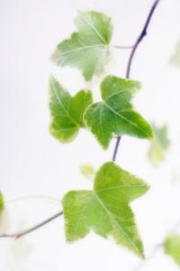 Ivy (Hedera Helix) by Maria Mosolova