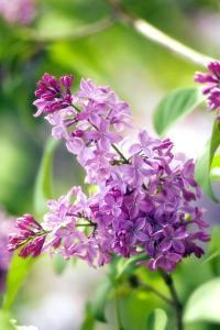 Lilac (Syringa Vulgaris) by Maria Mosolova