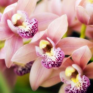Orchid (Cymbidium Hybrid) by Maria Mosolova