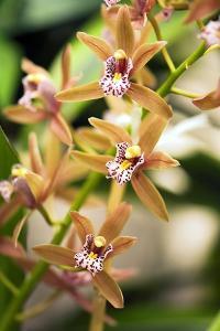 Orchid (Cymbidium) by Maria Mosolova