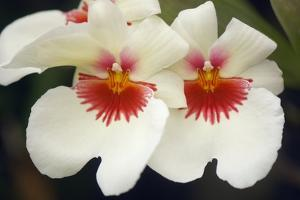 Orchid (Miltonia Sp.) by Maria Mosolova