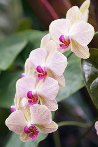 Orchid (Phalaenopsis Sp.) by Maria Mosolova