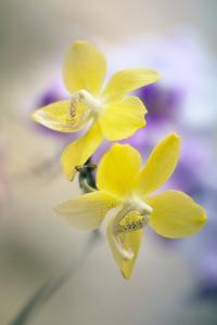 Orchid (Phalaenopsis) by Maria Mosolova