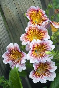 Painted Tongue (Salpiglossis Sp.) by Maria Mosolova