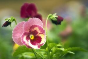 Pansies (Viola X Wittrockiana) by Maria Mosolova